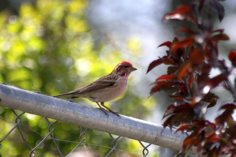 Cassins_Finch_Bird_011.jpg