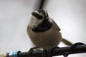 Chickadee Bird 242