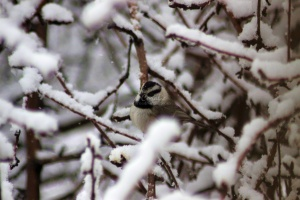 Chickadee Bird  011