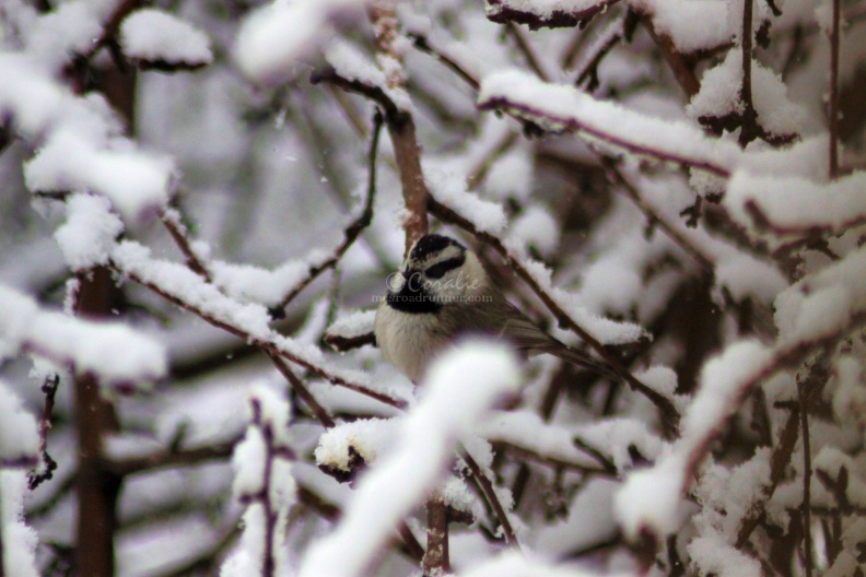 Chickadee_Bird__011.jpg