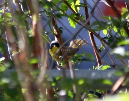 Common Yellowthroat Bird 714
