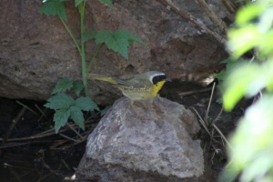 Common Yellowthroat Bird 903