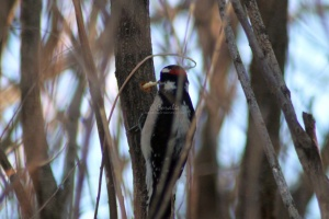 Downy Woodpecker bird 273