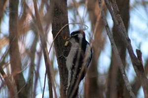 Downy Woodpecker bird 278