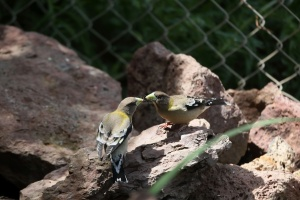 Female Evening Grosbeak Birds 938