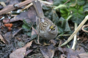 Golden Crowned Sparrow Bird 123