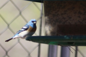 Lazuli Bunting bird at feeder 1569