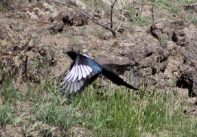Magpie Bird in Flight 631