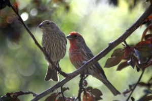 Male Female House Finch Birds 068