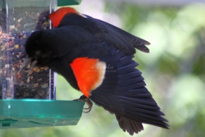 Red Winged Black Bird at the Feeder 158