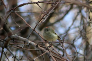 Ruby-crowned Kinglet bird 068