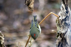 Ruby-crowned Kinglet bird 122