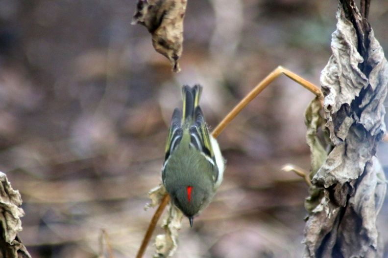 Ruby-crowned_Kinglet_bird_122.jpg