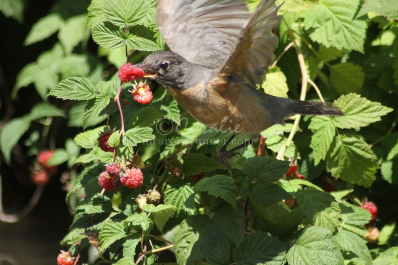 The_Berry_Theif_Robin_Bird_152.jpg