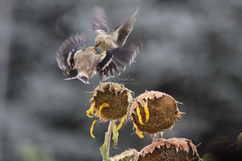 birds_fighting_543.jpg