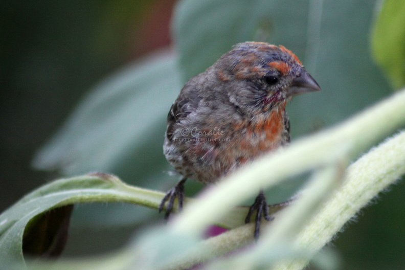 fledgeling_Finch_bird_1626.jpg