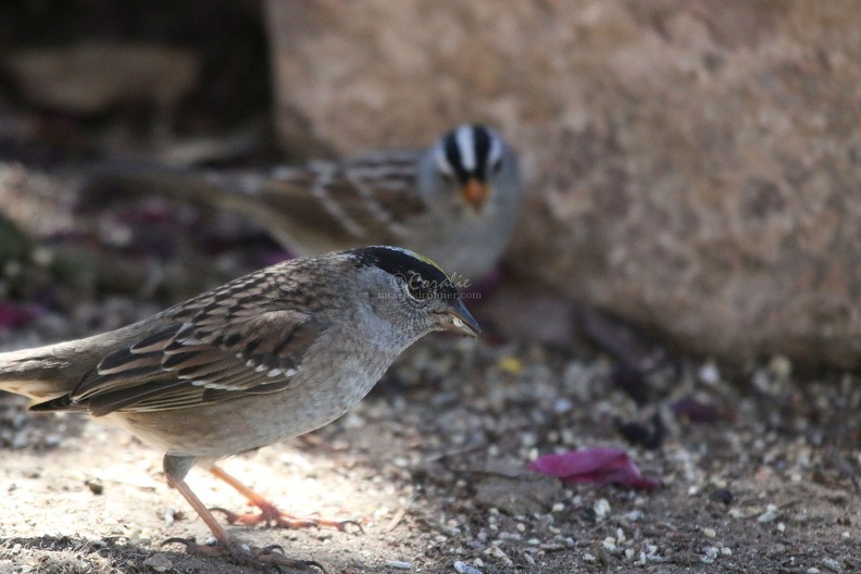 golden_crowned_sparrow_and_smaller_white_crowned_sparrow_bird_270.JPG
