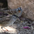 golden crowned sparrow and smaller white crowned sparrow bird 270
