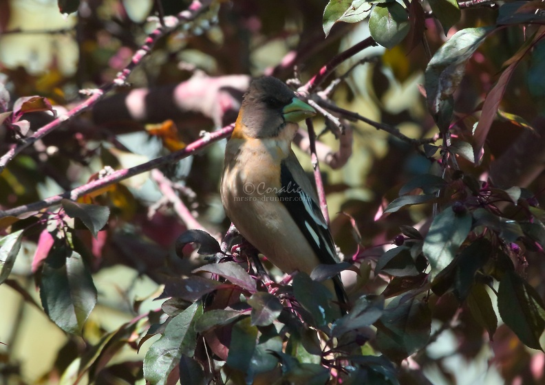 grosbeak_bird_T38A0124.JPG