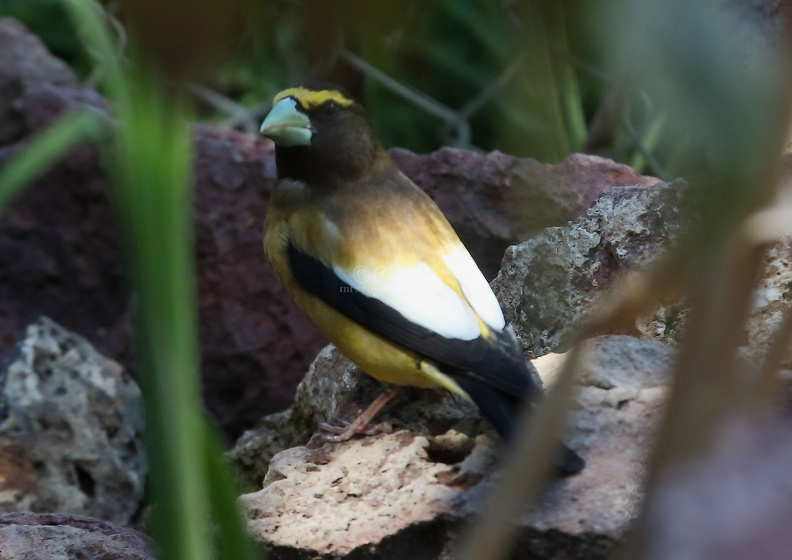 grosbeak_bird_T38A0159.JPG