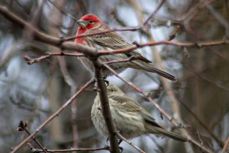 house_finch_birds_581.jpg