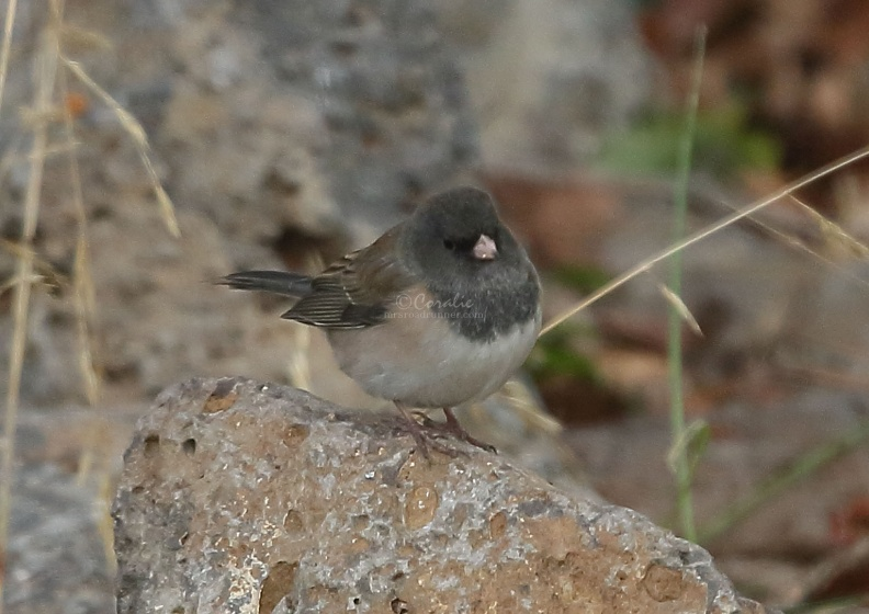 junco_bird_T38A5268.JPG
