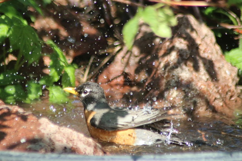 robin_bird_at_the_pond_taking_bath_066.jpg