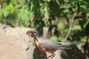 robin bird with nesting material 148