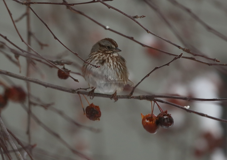 song_sparrow_bird_T38A5467.JPG