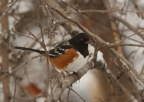 spotted towhee bird T38A5356