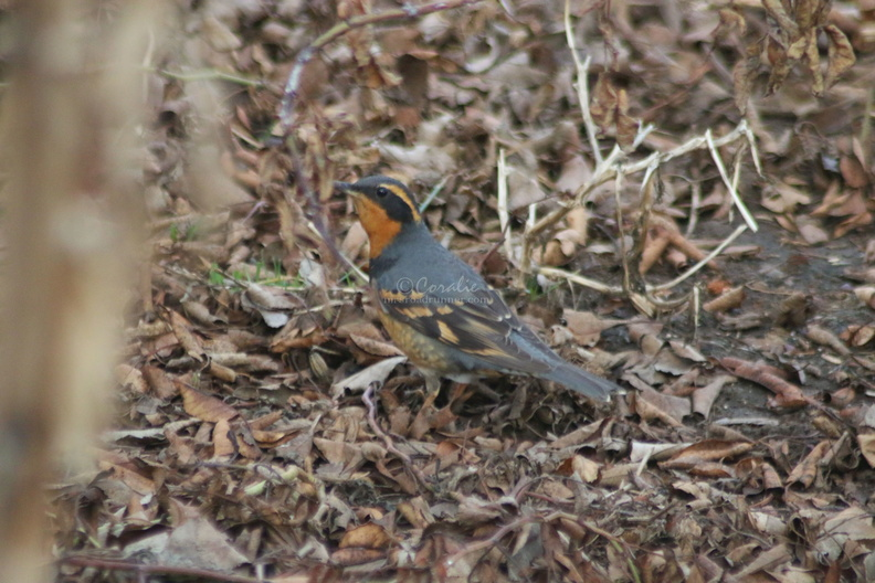 varied_thrush_bird_578.jpg