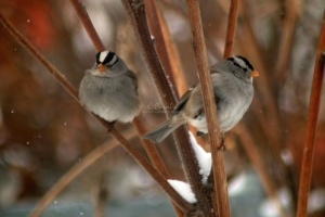 white crowned sparrow adult birds 015