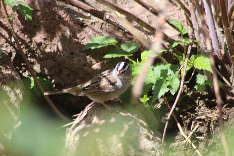 white_crowned_sparrow_bird_060.jpg