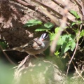 white crowned sparrow bird 060