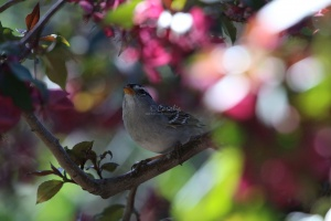 white crowned sparrow bird 198