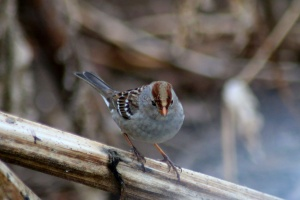 white crowned sparrow flegeling bird 661