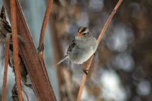 young white crowned sparrow bird 022
