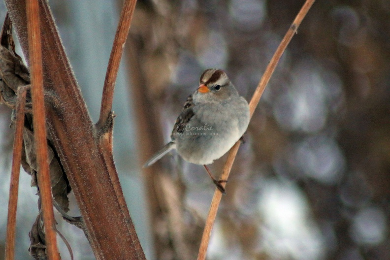 young_white_crowned_sparrow_bird_022.jpg