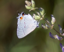 Gray Hairstreak Butterfly Strymon melinus 1917