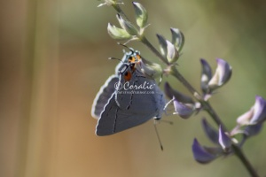 Gray Hairstreak Butterfly Strymon melinus 1941