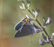 Gray Hairstreak Butterfly Strymon melinus 1951