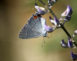 Gray Hairstreak Butterfly Strymon melinus 2006