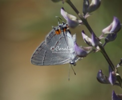 Gray Hairstreak Butterfly Strymon melinus 2012