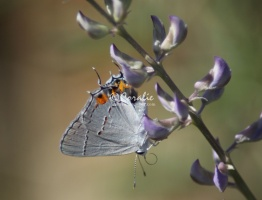 Gray Hairstreak Butterfly Strymon melinus 2021