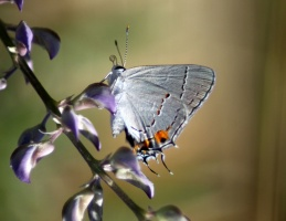 Gray Hairstreak Butterfly Strymon melinus 2025