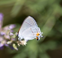 Gray Hairstreak Butterfly Strymon melinus 2354