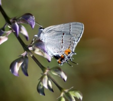 Grey Hairstreak 1957