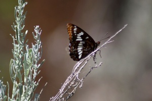 Lorquins Admiral Butterfly 170