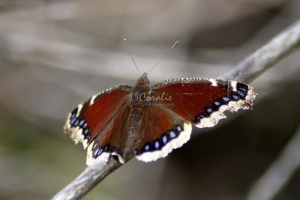 Mourning Cloak Butterfly 4032