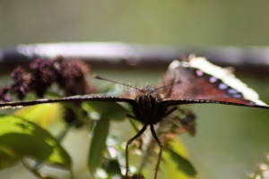 Mourning Cloak Butterfly 455